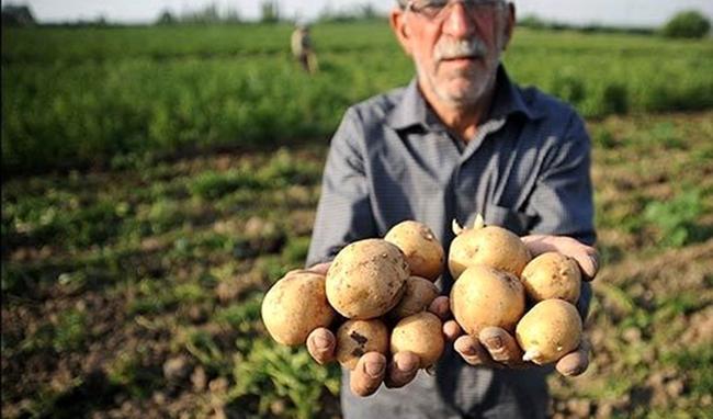 صادرات تنها متهم افزایش قیمت سیب زمینی نیست