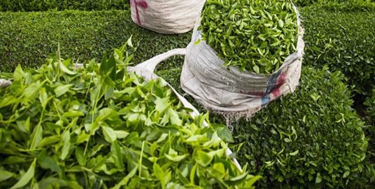 افزایش 150 درصدی صادرات چای هند به ایران