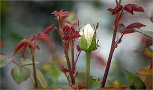 ایران هفدهمین تولیدکننده گل در جهان