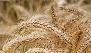 خروج دومیلیون تن گندم از چرخه خرید تضمینی/ قیمت کشاورزان را فراری داد