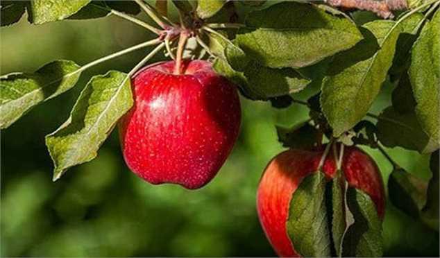 رشد ۳۰ تا ۵۰ درصدی تولید محصولات باغی