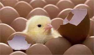 جوجهریزی در مرغداریها دستوری شد/ نگرانی از تکرار داستان ذرتهای آلوده برای واردات مرغ منجمد