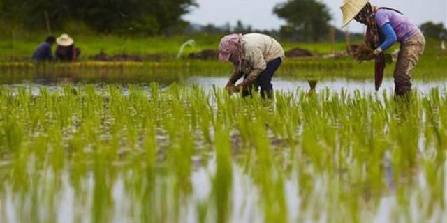 سطح زیر کشت مکانیزه برنج به ۷۰ درصد میرسد / اختلال در عرضه و نظارت دلیل اصلی گرانی برنج