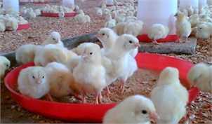 صادرات جوجه یکروزه آزاد است