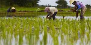 کم رونقی بازار برنج در مازندران