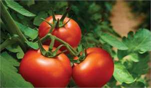 خرید حمایتی گوجه فرنگی همچنان ادامه دارد
