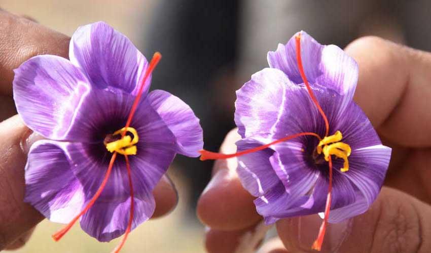 قیمت زعفران تا ۵۰ درصد کاهش یافت