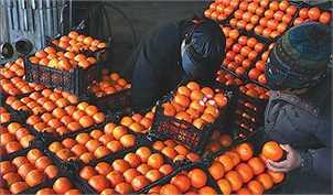 «رنگ افزایی» به بخشی از پرتقالهای بازار/ مردم پرتقالهای دورنگ را خریداری کنند