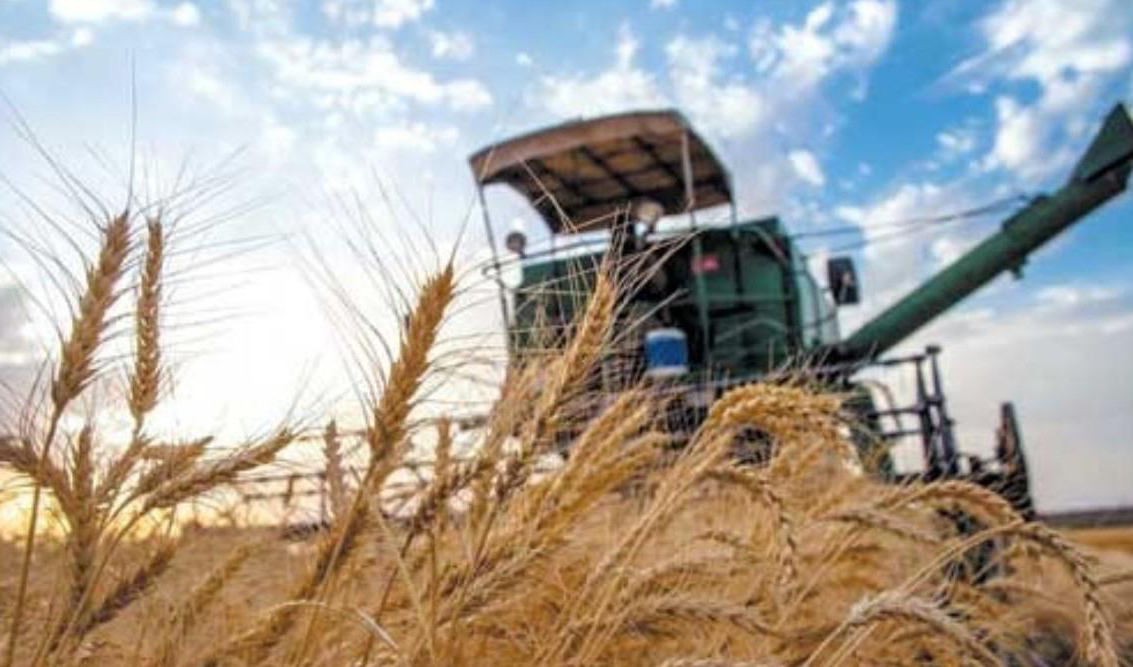 واردات گندم یا افزایش نرخ تضمینی؟ / کاهش ۲۰ درصدی سطح زیر کشت گندم در راه است