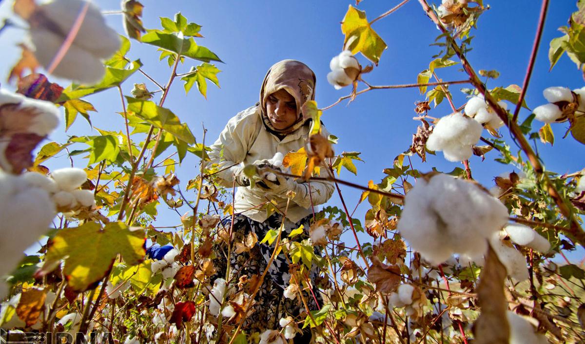تولید ۶۵ هزار تن پنبه در کشور/ ۹۵ درصد برداشت پنبه با دست انجام میشود