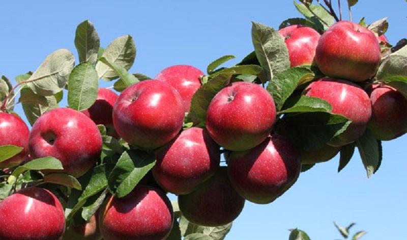 سیبهایی که روی دست باغداران ماند/ نبود بازار فروش، باغداران را متضرر کرد