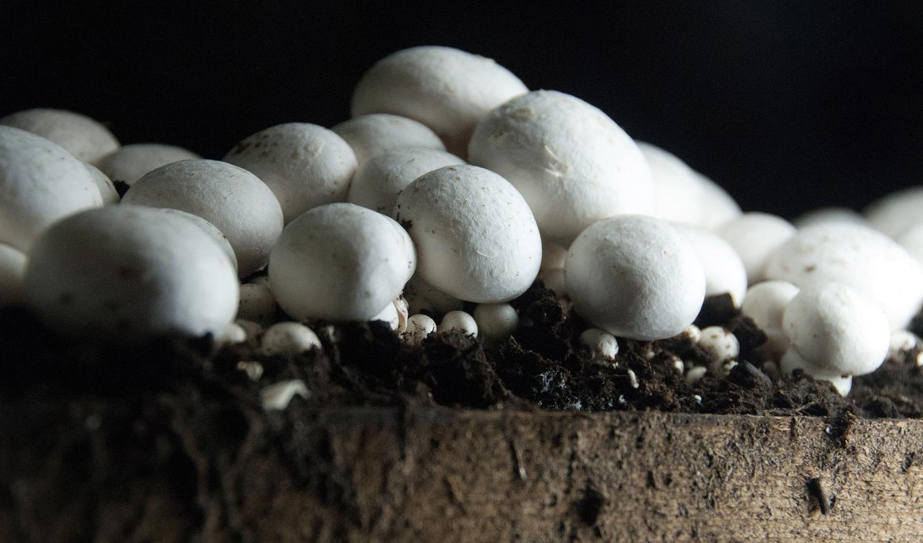 تولید روزانه قارچ به ۴۵۰ تن رسید/قیمت هر کیلو قارچ ۱۳ هزار تومان