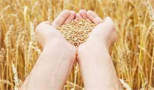 ارسال آنالیز قیمت تمام شده تولید گندم به سازمان بازرسی کل کشور/ قیمت هر کیلوگرم گندم ۲۵۵۹.۲ تومان