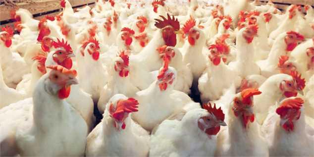 تولید روزانه ۵ هزار و ۵۰۰ تا ۶ هزار تن مرغ در کشور/ زیان ۷۰۰ تومانی مرغداران در هر کیلوگرم مرغ