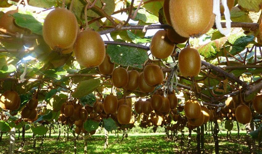 افزایش تقاضای هند و روسیه برای کیوی مازندران