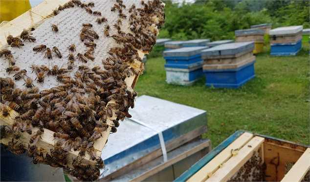 هر گرم زهر زنبور ٨٠ دلار می ارزد