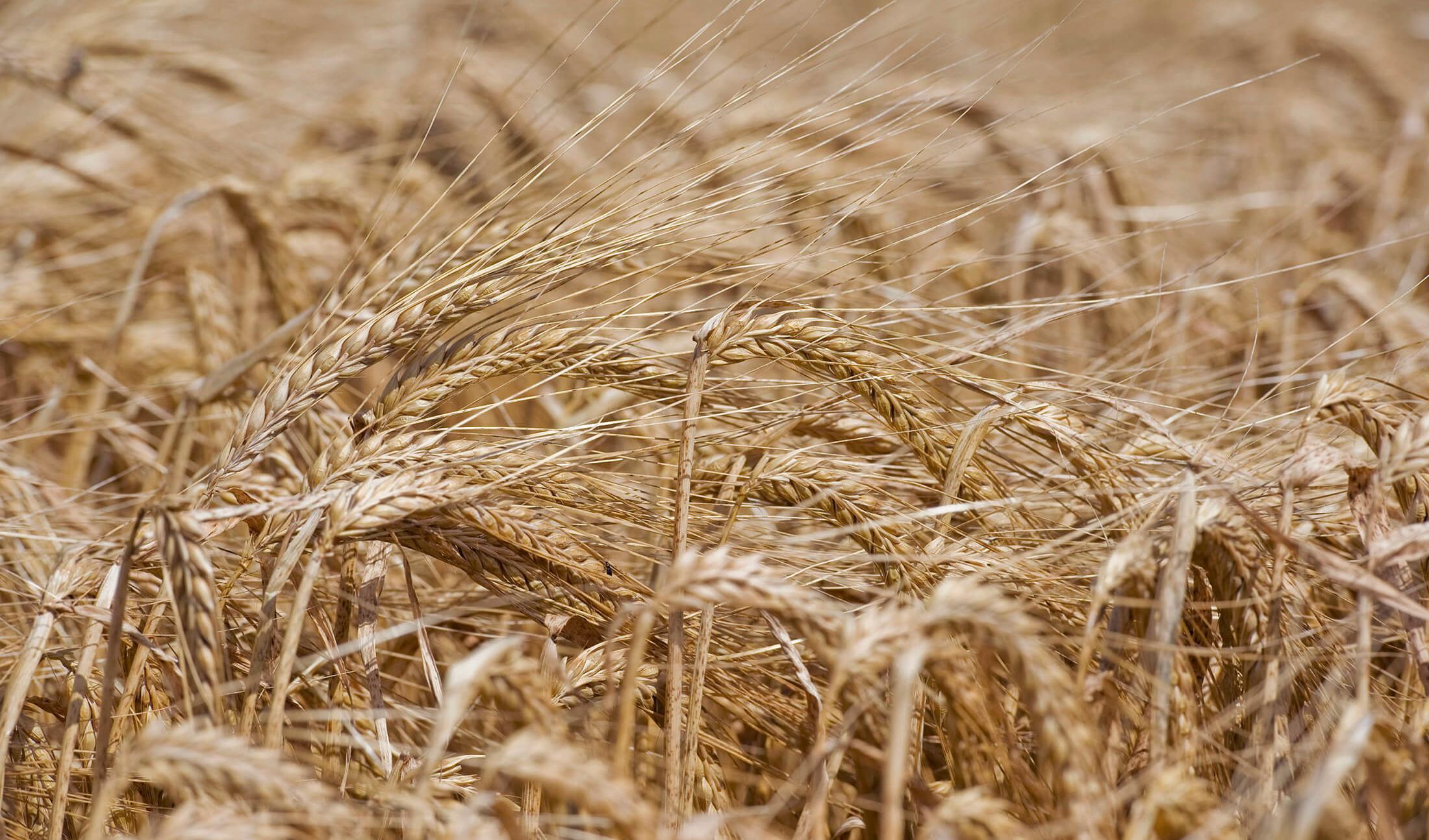 تولید جهانی گندم رکورد جدید میزند
