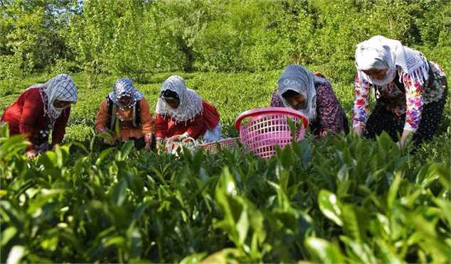 پیش بینی جهش ۱۵ درصدی تولید چای کشور در سال ۹۹/ چای ایرانی سمپاشی نمی شود