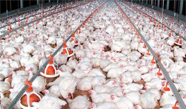 به زودی مرغها زنده به گور خواهند شد