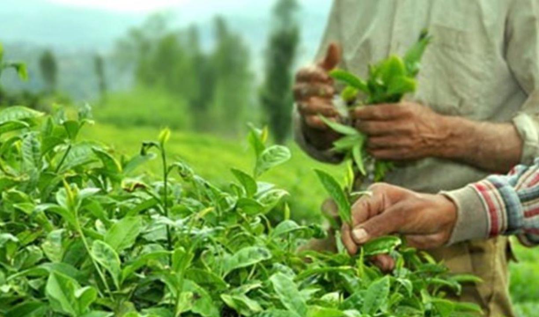 آغاز برداشت خرید برگ سبز چای از چایکاران؛ تولید چای خشک به ۳۰ هزار تن خواهد رسید