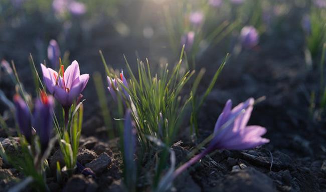 قیمت هر کیلو زعفران بین ۶ تا ۱۰ میلیون تومان