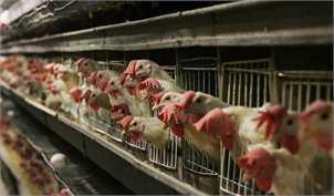 اوج گیری قیمت مرغ/ پشت پرده گرانی خوراک دام و طیور