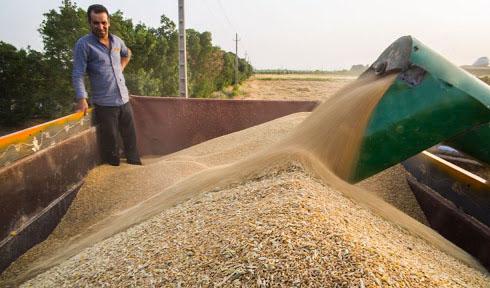 ۱۲ هزار و ۵۰۰ میلیارد تومان به گندم کاران پرداخت شد