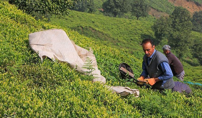 کدام کشورها خریدار چای ایران هستند؟