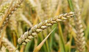 خرید گندم از ۷.۱ میلیون تن گذشت
