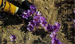 زعفران بین ۲ تا ۳ سال ماندگاری دارد