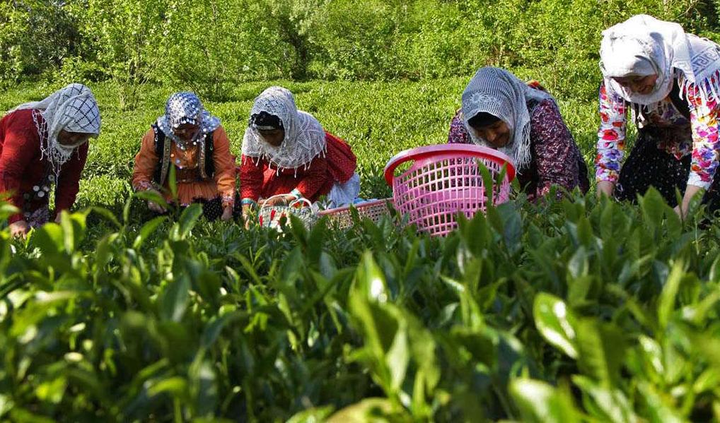 برداشت ۸۳ هزار تن برگ سبز چای