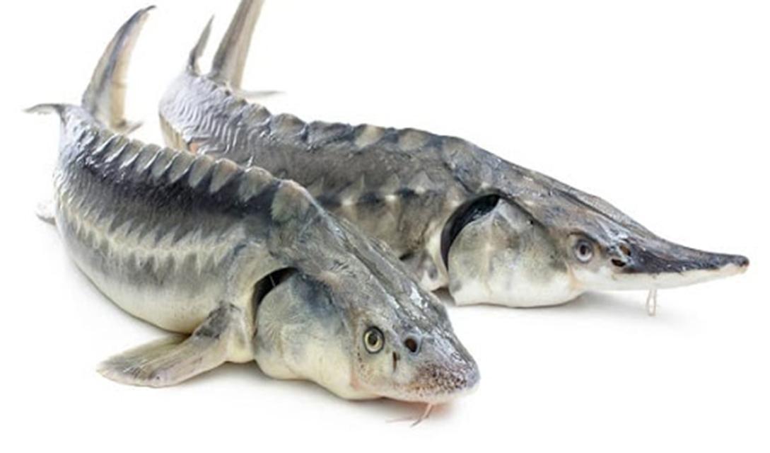هدفگذاری تولید ۱۷ تن ماهی خاویاری در هرمزگان