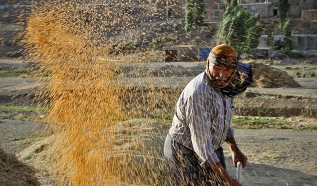 خرید گندم از کشاورز داخلی ۲۵۰۰ تومان؛ از کشاورز خارجی 5000 تومان !