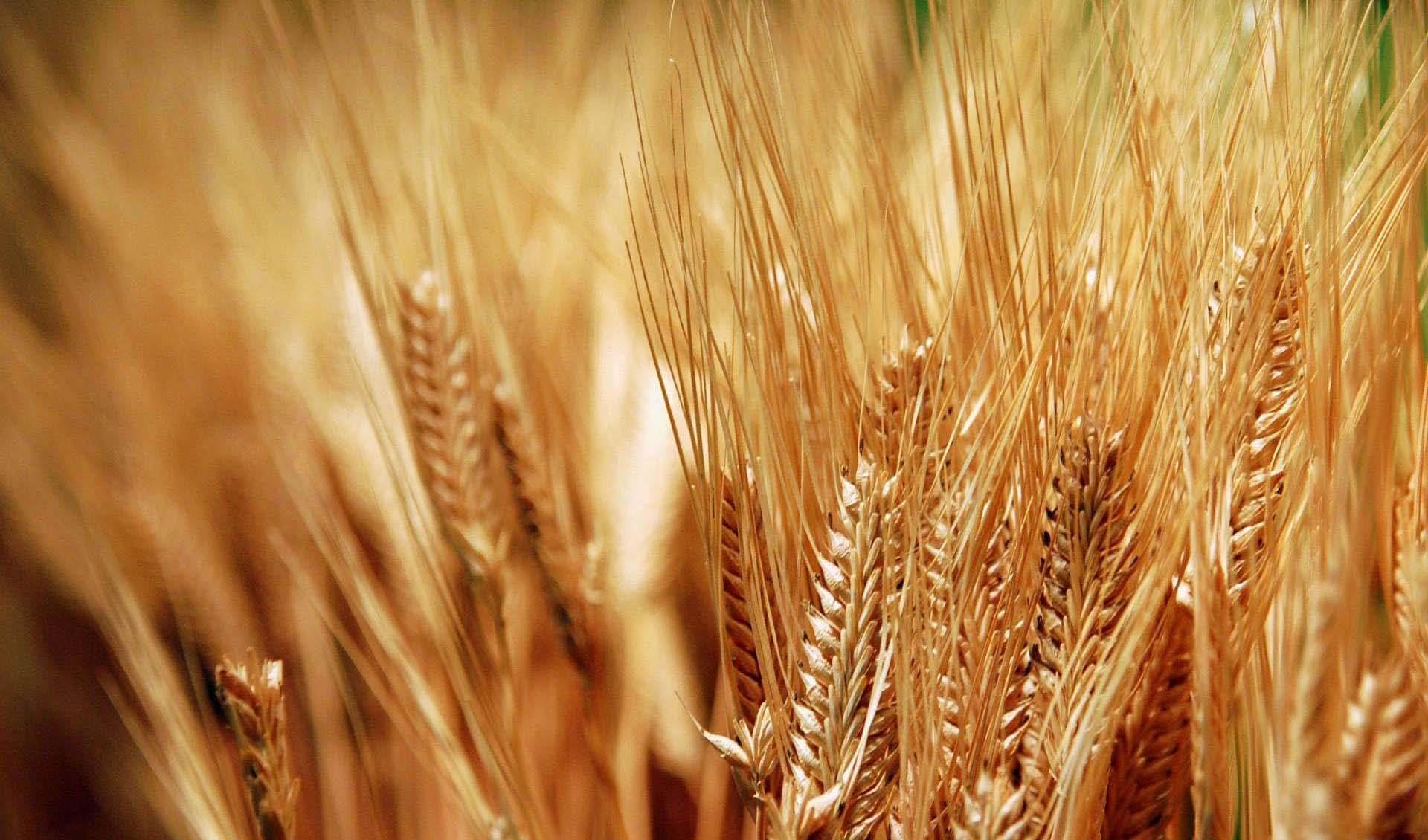 خرید گندم از ۸ میلیون تن گذشت