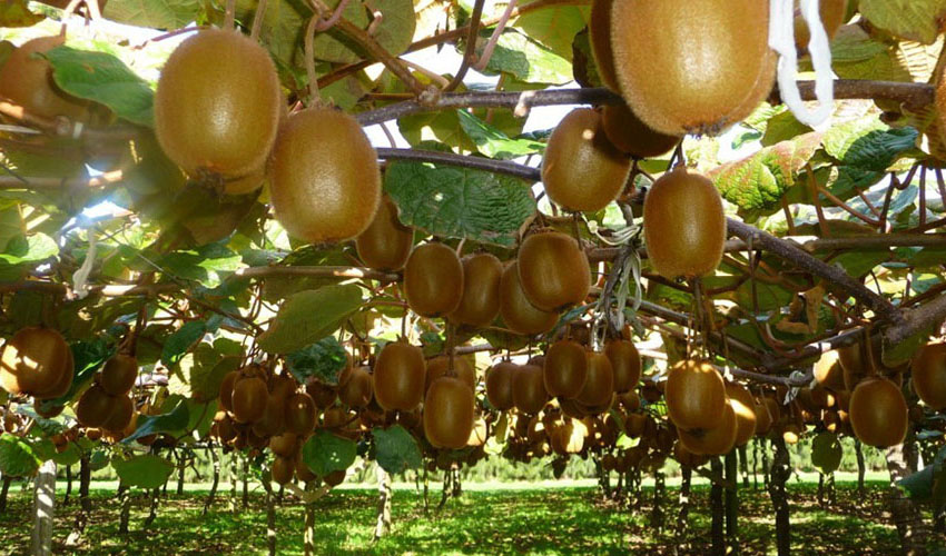 تداوم ممنوعیت صادرات کیوی
