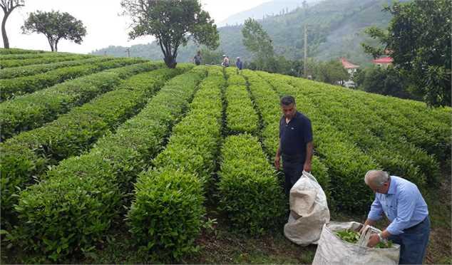 رشد ۱۰ درصدی تولید برگ سبز چای؛ ۸۰ درصد مطالبات چایکاران پرداخت شد