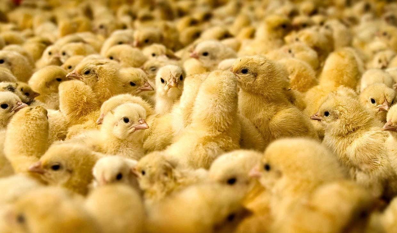 زیان تولیدکنندگان جوجه به ۳۵۰ میلیارد تومان رسید