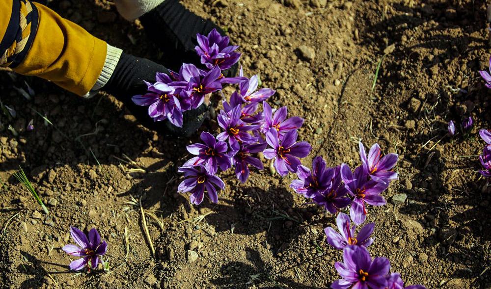 آغاز برداشت زعفران نوبرانه از ۲۰ مهر؛ آمار دقیقی از سطح زیرکشت زعفران نداریم
