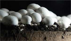 افزایش تولید قارچ در راه است/ رشد ۲۰ درصدی قیمت قارچ در بازار