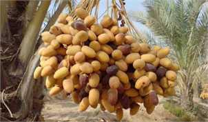 تولید خرما به بیش از یک میلیون و ۲۰۰ هزار تن رسید؛ هر کیلو خرمای مضافتی ۲۰ هزار تومان