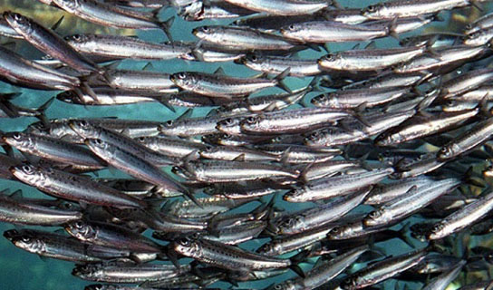 طرح تکثیر ماهیان دریایی در دستور کار ستاد زیست فناوری