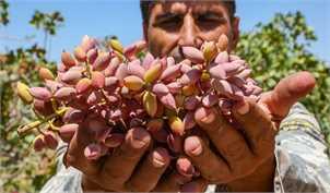 عرضۀ ۹۰درصد تولیدات پسته ایران در بازارهای خارجی/ صادرات ۳۰ هزار تن پسته در تابستان