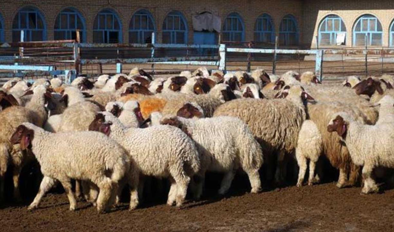 نگرانیها از افزایش قیمت دام زنده و گوشت قرمز