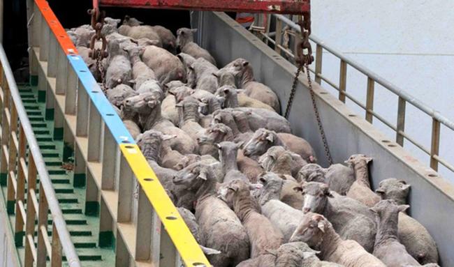 ورود دام به تهران کاهش یافت/  افزایش ۱۰ هزار تومانی قیمت دام زنده بدلیل قاچاق