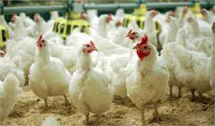 سامانه بازارگاه ناجی صنعت مرغداری/ رشد قیمت مرغ متوقف میشود؟