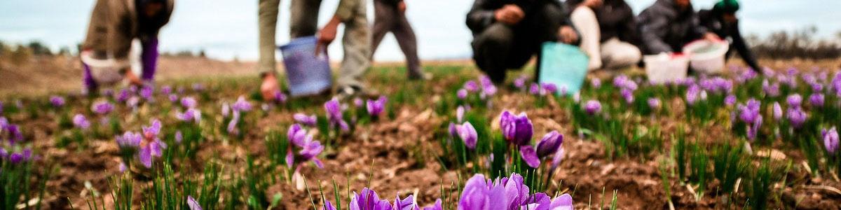 شنبه آینده خرید تضمینی زعفران آغاز میشود