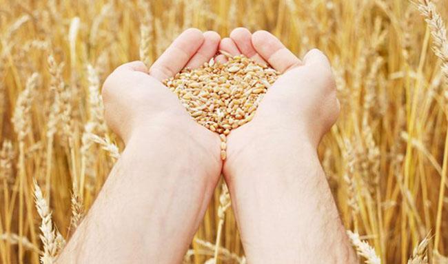 توزیع ۳۸۰ هزار تُن بذر گندم در بین کشاورزان