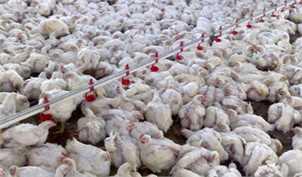 اما و اگرهای جایگزین نژادهای مرغ خارجی با آرین ایرانی