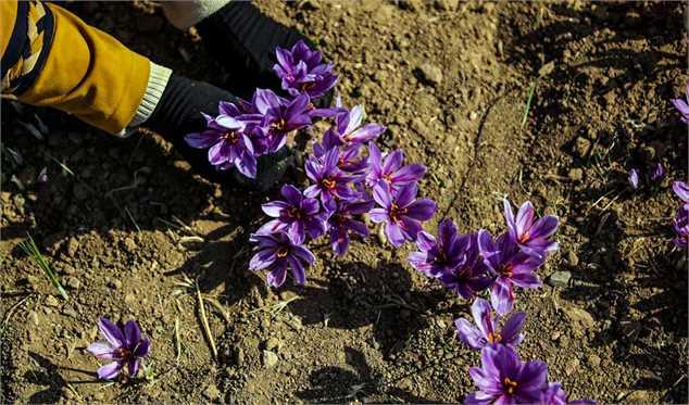 افزاییش صادرات زعفران به ۳۵ درصد میرسد/ حداکثر قیمت هر مثقال  ۷۰ هزار تومان