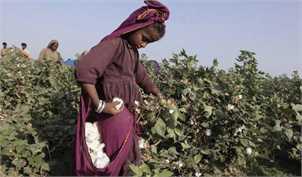 کمبود پنبه، مشکل اصلی صنایع نساجی